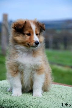 Sweet sheltie pup. Someday I want to own one again