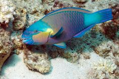 Princess Parrotfish - the most beautiful salt water fish ...........click here to find out more http://googydog.com