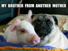 Pug & pig - for Bryce
