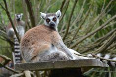 #animal #animal photography #blur #close up #endangered #fur #grass #lemur #madagascar #mammal #nature #outdoors #portrait #primate #species #tail #tree #wild #wildlife #wood #zoo