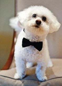 Dog and a bowtie | Life Images Photography