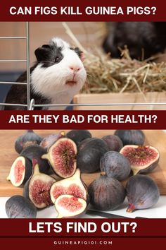 Can figs kill guinea pigs? Are they bad for their health? Lets Find Out in this post. How to care for pet guinea pigs I pet guinea pig care I small animal care I guinea pig information I information on pet guinea pigs I what to do with pet guinea pigs I things to know about pet guinea pigs I pet guinea pig tips I care tips for pet guinea pigs I small pet homes I guinea pig cages I #guineapigs #pets #smallpets Guinea Pig Food, Baby Guinea Pigs, Guinea Pig Care, Best Fruits For You, Guinea Pig Information, Pigs Eating, Animal Antics, Pet Home