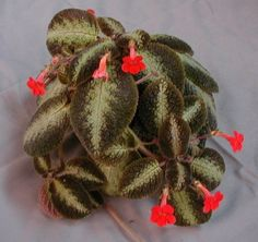 Episcia Country Cowboy.  My Great Aunt in Indiana always one of these.  She had a friend who raised Episcia and African Violets in her Green House.  Must have 100+