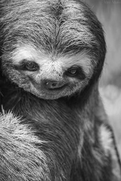Sloths are the ugliest creatures known to mankind.  So ugly they scare me.  *shudder*  I hate looking at them.  Something about their flat faces and long curvy nails.