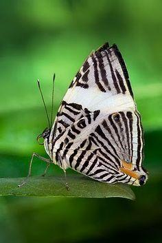 """Família: Ninfalídeos  Particularidades: Conhecida como """"zebra"""", devido ao desenho da face inferior das asas.  Plantas Hospedeiras: Embaúba  Habitat: Em todas as regiões."""