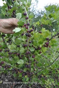 Gooseberries - Edible Landscaping