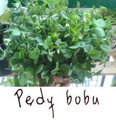 Młode pędy bobu rosną w 2 tygodnie! Najszybsze i przepyszne warzywa do uprawy na balkonie i parapecie.  http://zapuszczamkorzenie.blogspot.com/