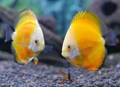 Discus: These vibrant fish make a great addition to any Discus ...