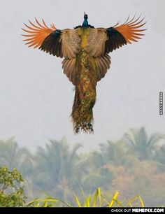 A rare image of a flying Peacock.
