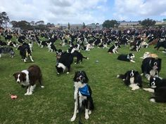 We Have Found Heaven And It Is This Field With 576 Border Collies