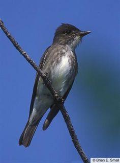 Olive-sided Flycatcher - Colorado