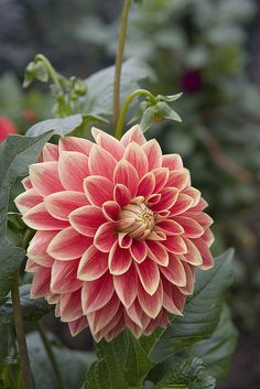 Dahlia- my other favorite flower
