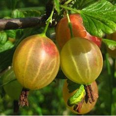 My sister had this plant in our yard growing up. Love gooseberries.  At least I remember loving them.