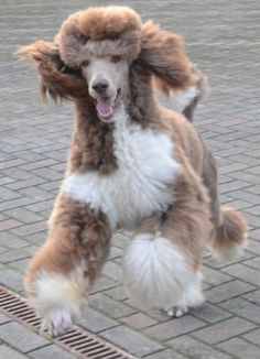 Brown and White Parti-Colored Poodle. The AKC won't let you show them. Ha! What do they know!