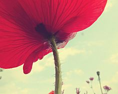 Red Poppy Blue Sky 8x10 fine art photo print by ChickensintheTrees