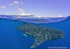Split shot with whale sharks and Lilly M by Shawn Heinrichs @BlueSphereMedia http://journal.bluespheremedia.com/