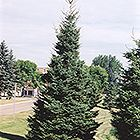 Black Hills Spruce (Picea glauca 'Densata') at Bachman's Landscaping Thumbnail