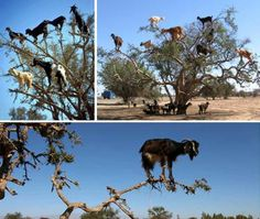 these tree climbing goats are found in morocco. they climb the trees in search of food. the secret to their ability to climb lies in the shape of their hooves. the keratin reinforced hoof walls add strength, while the soft textured sole provides traction and grip. it is also capable of deforming inwards to counter irregularities in the terrain.