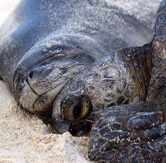 Monk seal and sea turtle cuddling Beautiful Creatures, Animals Beautiful, Hawaiian Monk Seal, Animals And Pets, Cute Animals, Animals Sea, Funny Animals, Turtle Love, Green Turtle