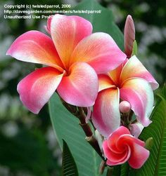 plumeria. LOVE.HAWAII.LOVE