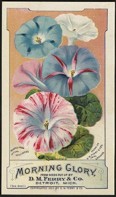 """detroitlib:"""" View of an advertising card for D. Ferry & Co. Printed on front: """"Morning glory from seeds put up by D. Ferry & Co. Painted from actual specimens, grown on D. Ferry & Co.'s trial. Vintage Diy, Vintage Labels, Vintage Ephemera, Vintage Images, Plant Illustration, Botanical Illustration, Vintage Prints, Vintage Posters, Vintage Seed Packets"""