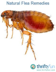 Guide to natural flea remedies