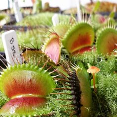 B52  A new trap has emerged among old dormant growth and a straggling mushroom.  #gothictraps #vancouver #bc #canada #plants #carnivoroustagram #carnivorousplant #carnivorousplants #dionaea #muscipula #dionaeamuscipula #venus #flytrap #venusflytrap #vft #b52 #narcityvancouver #vancouverofficial #vancitybuzz #iamvancouver #typicalvancouver #vancityfeed #vancityhype #wearevancouver #vancouver_canada #discovervancouver #veryvancouver #604now #myvancouverlife by gothictraps
