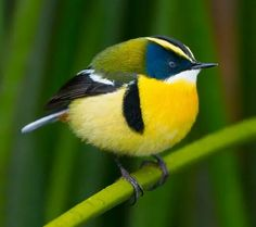 Many-colored Rush Tyrant, small passerine of South America