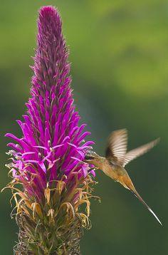 Brazilian Birds - Species # 016 - Planalto Hermit by Bertrando©, via Flickr
