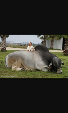 Gentle Brahman bull but risky thing to do with a baby. Farm Animal Toys, Farm Animals, Cute Animals, Cattle Farming, Livestock, Animals For Kids, Animals And Pets, Beautiful Creatures, Animals Beautiful