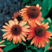 Botanical name: Echinacea 'Sunset'    Other names: Orange coneflower, Echinacea purpurea x parado 'Sunset'  Click image to learn more, add to your lists and get care advice reminders each month.