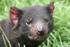 Contagious Cancers Found in Tasmanian Devils