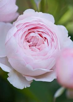 DAVID AUSTIN ROSE - ROSE 'GEOFF HAMILTON'. Continual blooming, moderately fragranced, round and heavily foliaged plant.