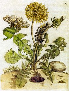 This painting by Maria Sibylla Merian (1647-1714) shows, alongside a dandelion, a moth in stages of metamorphosis.