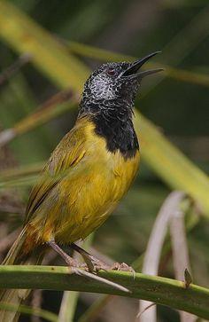 Oriole Warbler (Hypergerus atriceps) singing