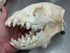 Wolverine skull.