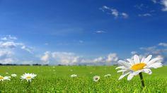 Обои ромашки, поле, небо, природа, солнечно, трава