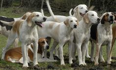 A New California Law Outlaws the Use of Hunting Hounds | Care2 Healthy Living