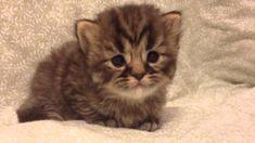 Bella - Teacup Golden Tabby Persian Kitten
