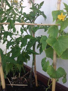 Instruções de Tratamentos: CAPAR e APARAR os TOMATEIROS    Durante o crescimento dos Tomateiros é necessário proceder a algumas medidas p...                                                                                                                                                                                 Mais