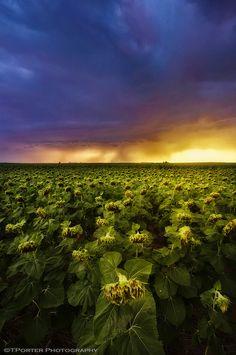 ✯ Sunflower Apocalypse