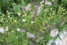 List of medicinal plants to grow in a medicinal herb garden. These herbal plants make pretty flowering herbs. Plant a medicine garden Growing Mint, Growing Seeds, Herbal Plants, Medicinal Plants, Oregano Plant, Medicine Garden, Herb Spiral, Early Spring Flowers, All About Plants