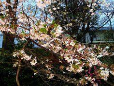 Cherry Blossom at Yoshiro Nakamura mini live