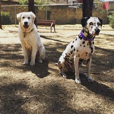 """On Friday we practice """"Stay""""...So makes it easy for other pets to enter the park without this two crazy girls been all over. // En viernes practicamos """"quieto""""... Para hacer más fácil la entrada de otras mascotas al parque sin que estemos molestando. .                                                                    #dog_features #my_loving_pet #excellent_dogs #topdogphoto  #greatpyrenees #showcasing_pets #bestwoof #weeklyfluff #dogsofinstagram #dogsofinstaworld #cutepetclub #sendadogphoto…"""