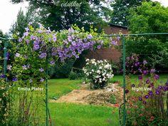 Zielono Zakręceni: Powojnik 'Emilia Plater' (1/1) Clematis, Gardens, Flowers, Plants, Outdoor Gardens, Plant, Royal Icing Flowers, Flower, Florals