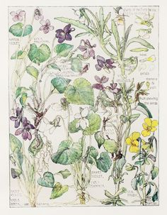 1910 Botanical Print by H. Isabel Adams: Violet Family, Marsh Violet, Wood, Hairy, Sweet, Dog, Sea Pansy, Field