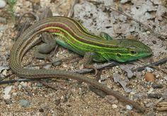 Prairie Racerunner lizard.  Cnemidophorus sexlineatus viridis. The Herping Michigan Blog: MI Reptiles