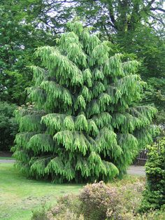 Morinda Spruce Tree - This tree grows to 33 ft high and 10 ft wide. So it's not the best choice for a small yard, but it's so beautiful and unique I just had to pin it here!
