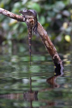 Slender-snouted Crocodile on Mpivi River in Gabon