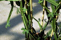 Le Cissus rhombifolia est une plante grimpante de croissance rapide qui est originaire d'Amérique tropicale.